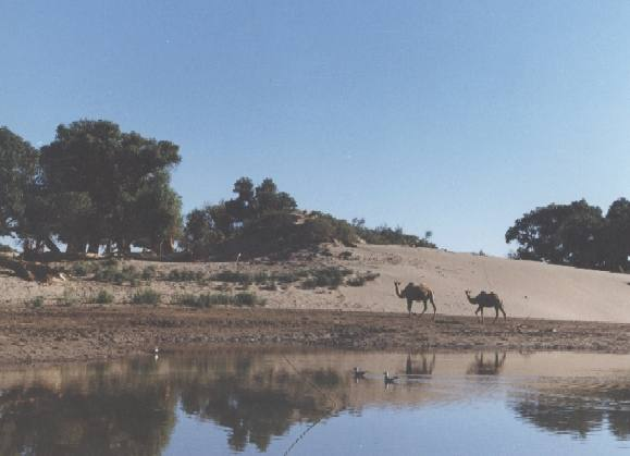 Wolaanhuq camels 2,Desert willows S
